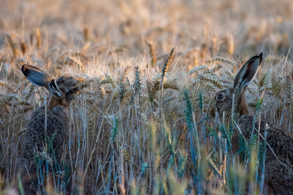 Hare pair by stevejacob