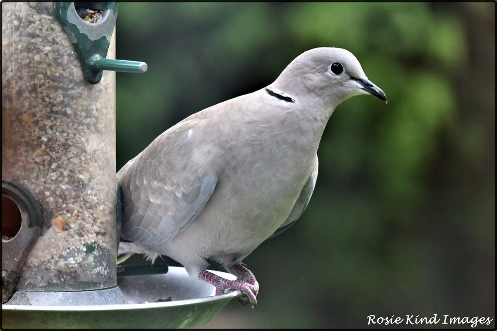 Today's collared dove by rosiekind