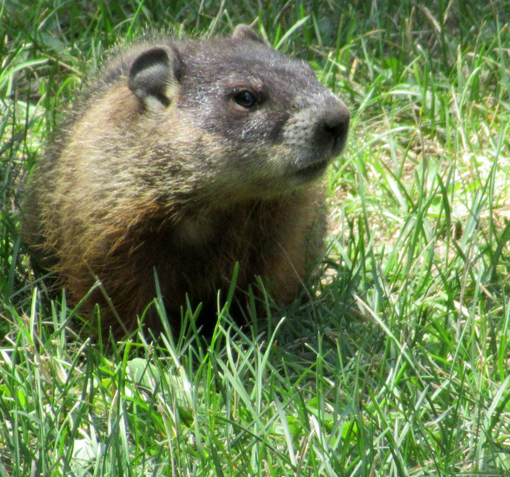 Look at this cute marmot by bruni