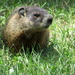 Look at this cute marmot
