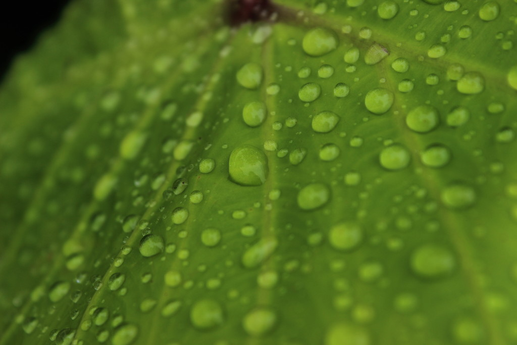 Rain Drops on a Leaf by themusketeers