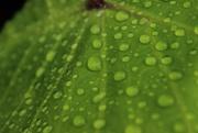 29th Jul 2020 - Rain Drops on a Leaf