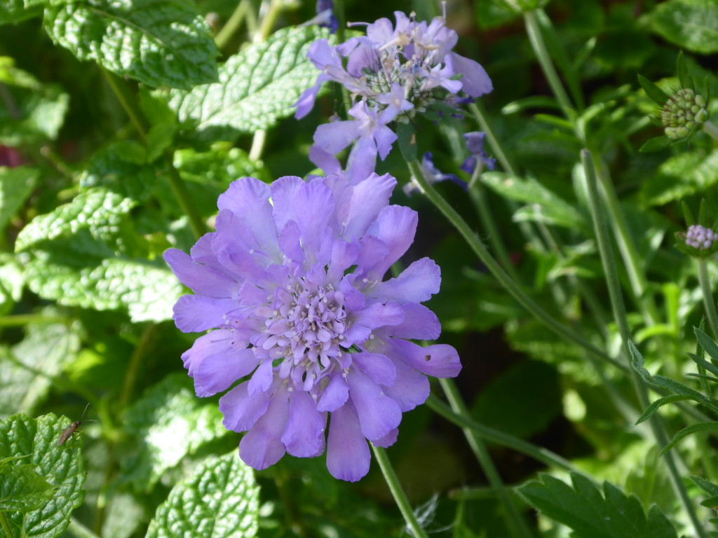 Scabious by snowy