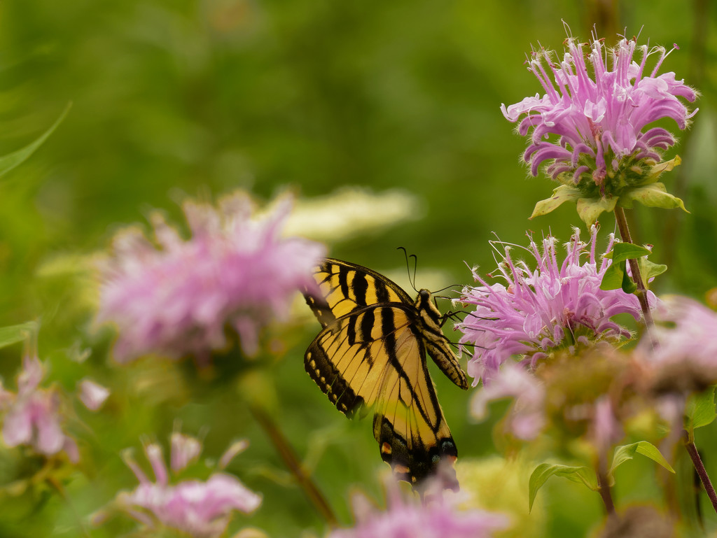Eastern tiger swallowtail by rminer