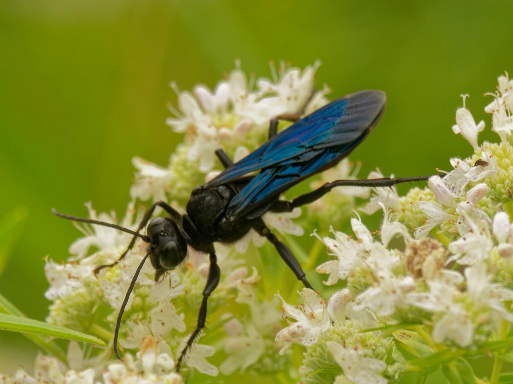 great black digger wasp by rminer