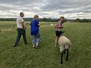 1st Aug 2020 - Sheep walking