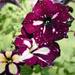 Petunia-Variety Unknown...