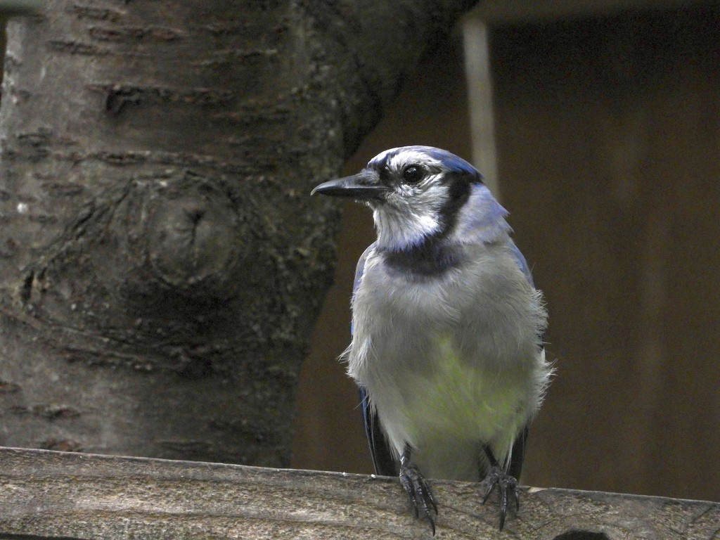 Quiet blue jay by amyk