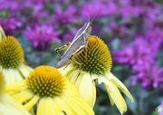 1st Aug 2020 - Grasshopper on Lemon Yellow Echinacea