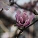 Magnoia in winter