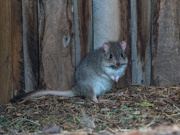 2nd Aug 2020 - Bettong