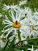 30th Jul 2020 - Crazy daisies