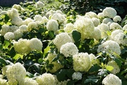 2nd Aug 2020 - White flowers