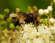 1st Aug 2020 - Bumble Bee