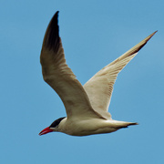 2nd Aug 2020 - Caspian tern