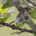 song sparrow blending in