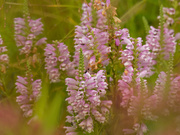 2nd Aug 2020 - obedient plant
