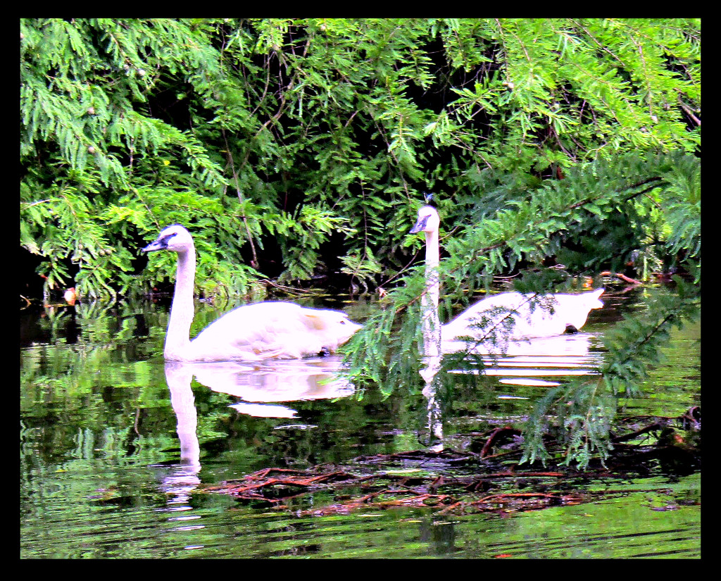 Swans? by moviegal1