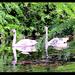 Swans?
