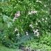A Rose of Sharon bush..