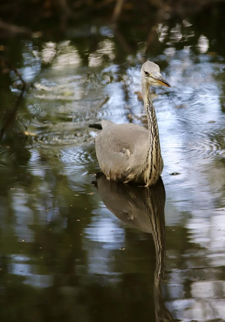 Hartsholme Heron by phil_sandford