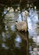 2nd Aug 2020 - Hartsholme Heron