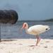 American white Ibis at Cannon beach by dutchothotmailcom