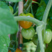 8.2 Tomatoes