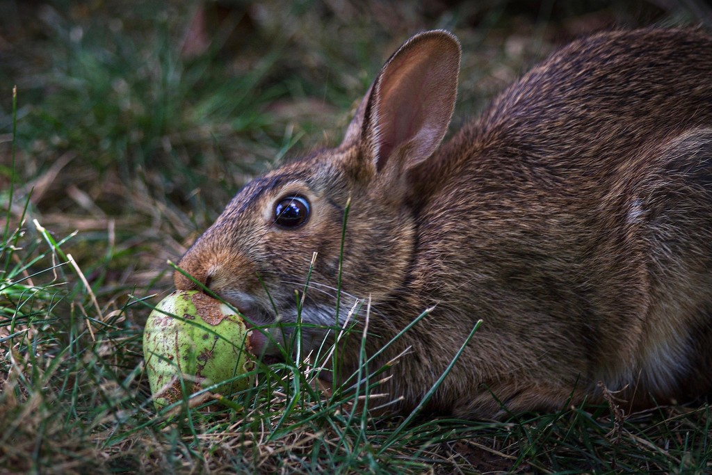A hare with a pear by berelaxed