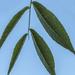 Black Walnut Leaf Details