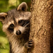 Rocky Raccoon Posing for Me!