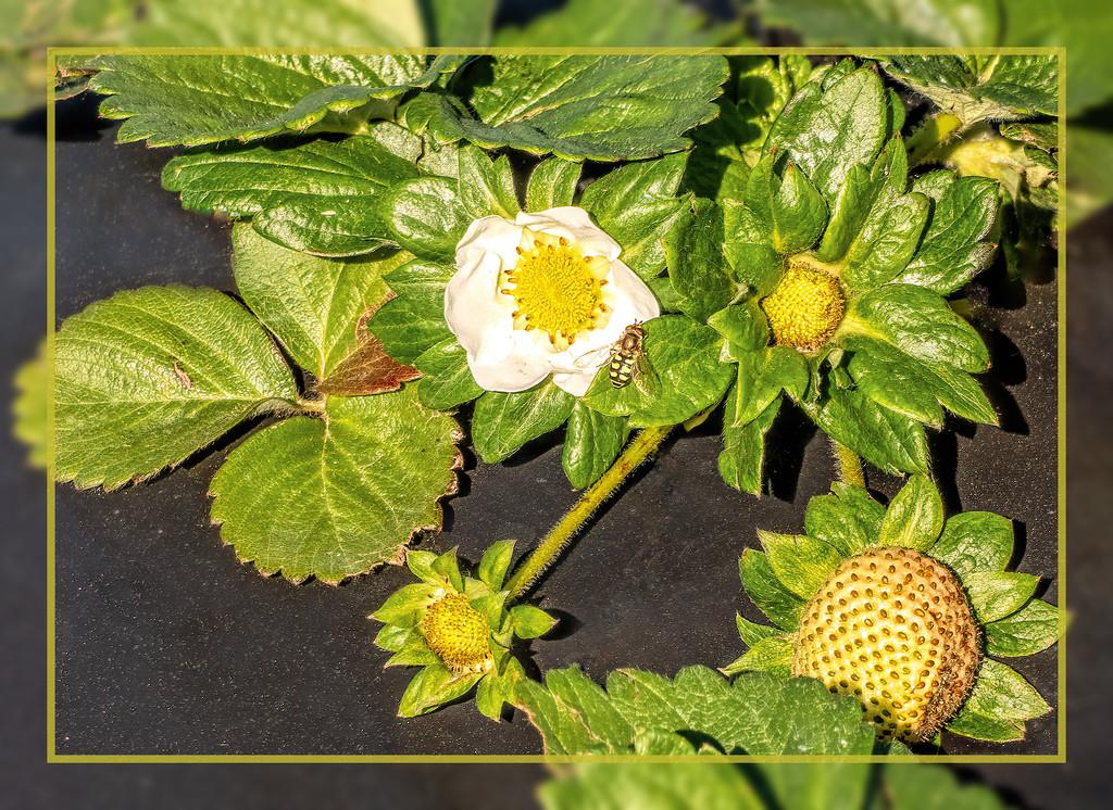 Strawberries  by ludwigsdiana