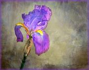 3rd Aug 2020 - A lone Iris