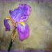 A lone Iris