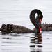Swans  by glendamg