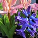 Odd One Out Hyacinth