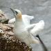 Gannet at Bempton