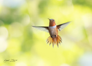 3rd Aug 2020 - Hummingbird