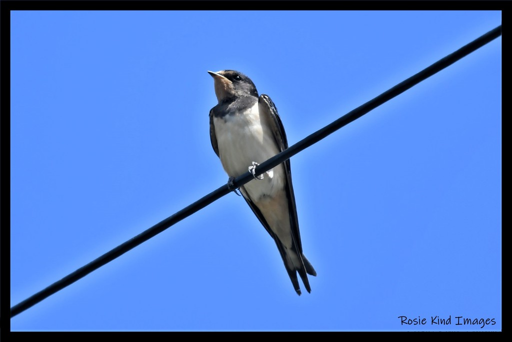 Young swallow  by rosiekind