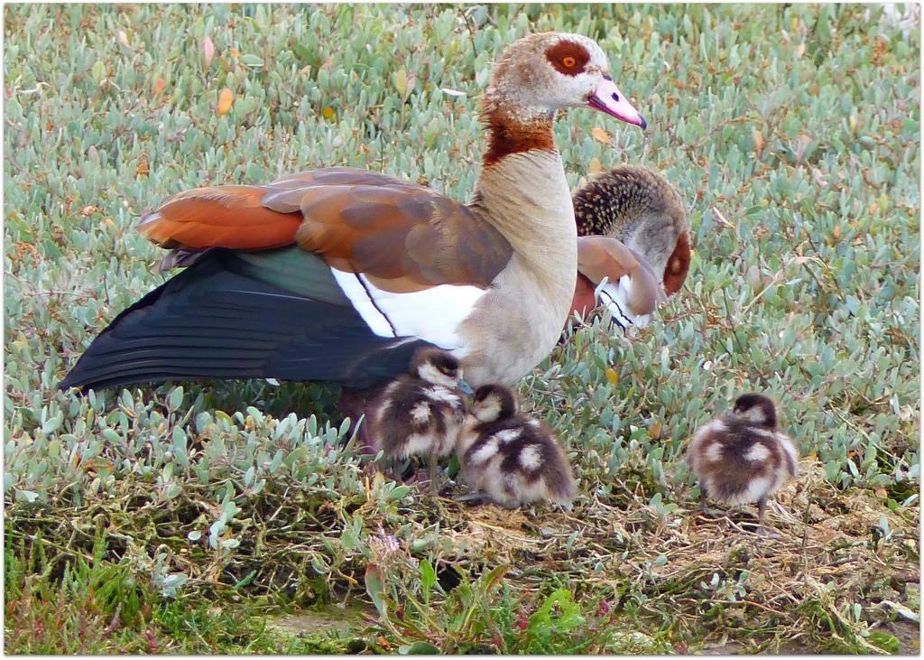 Egyptian goose Family by judithdeacon