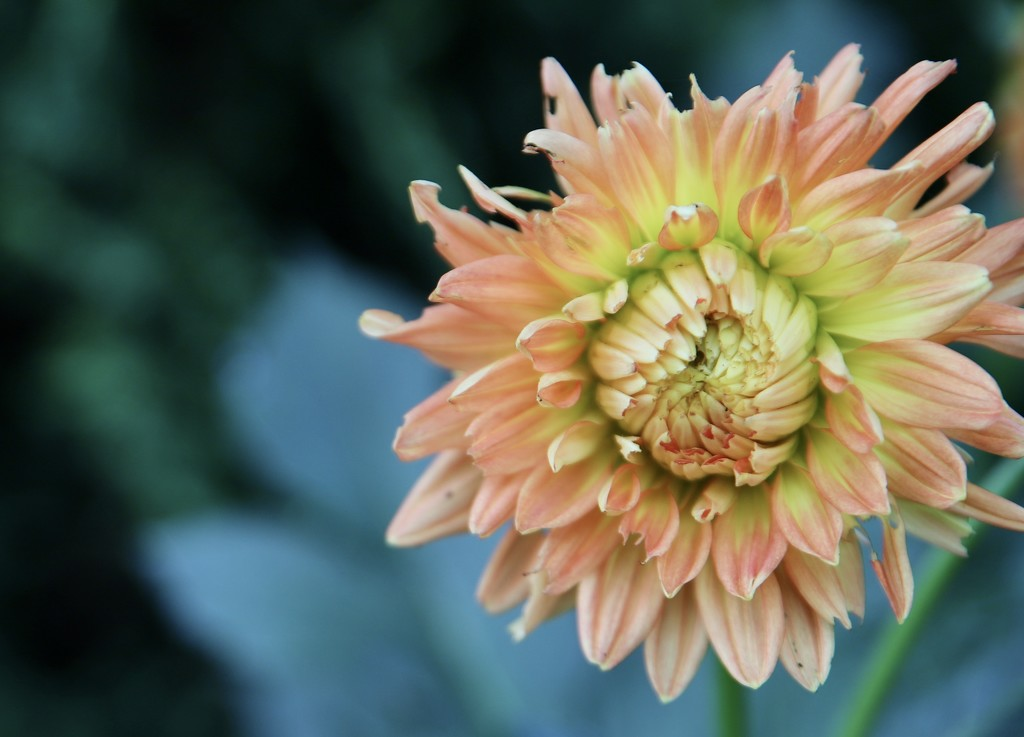 Dahlia by phil_sandford