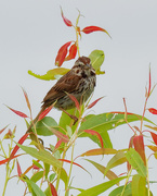 3rd Aug 2020 - song sparrow