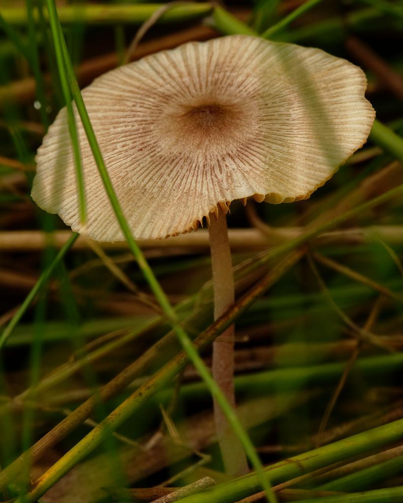 pleated inkcap mushroom by rminer