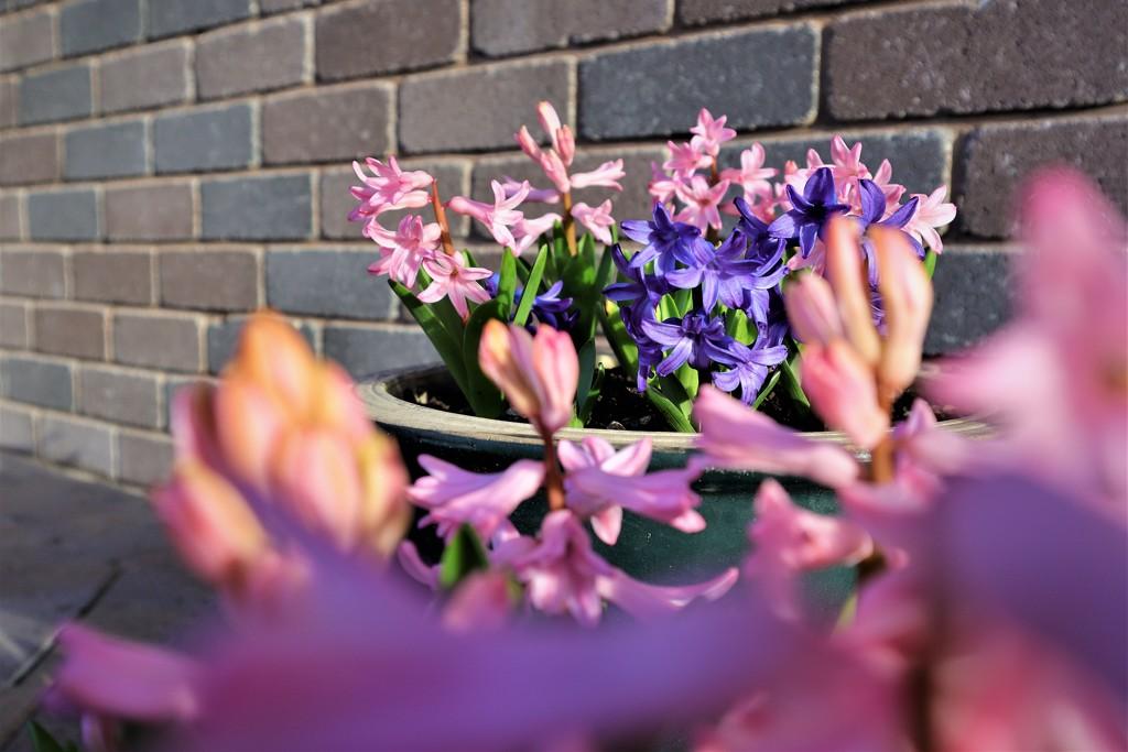 Odd one out hyacinth view by sandradavies
