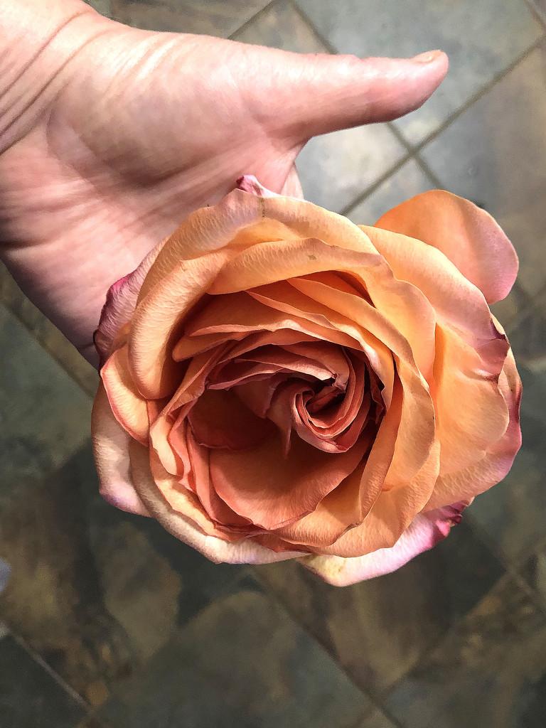 Giant rose by homeschoolmom