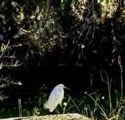 2nd Aug 2020 - Egret