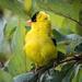 Punk Goldfinch