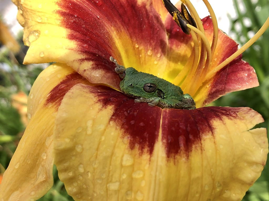 flower frog by amyk
