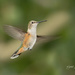 Another Hummingbird