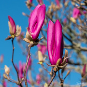 4th Aug 2020 - Magnolia buds